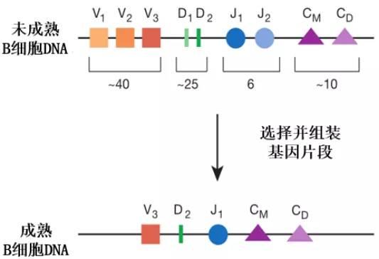 你对抗新冠的抗体,来自基因!